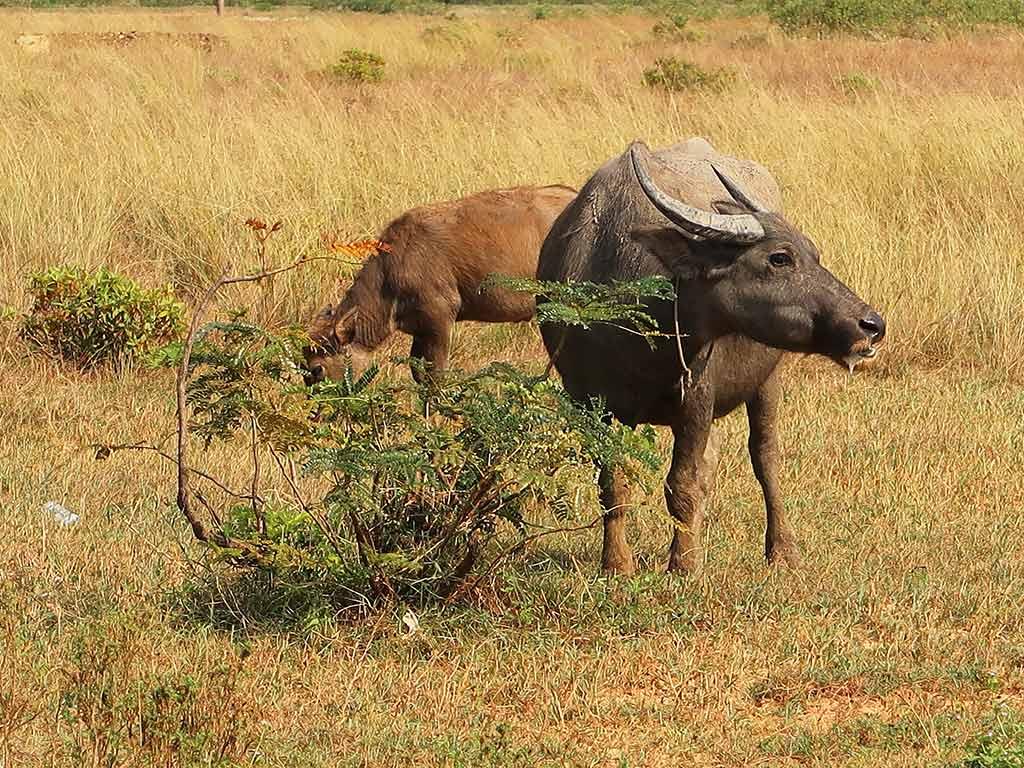 Zwei grasende Wasserbüffel auf einer uneingezäunten Weide