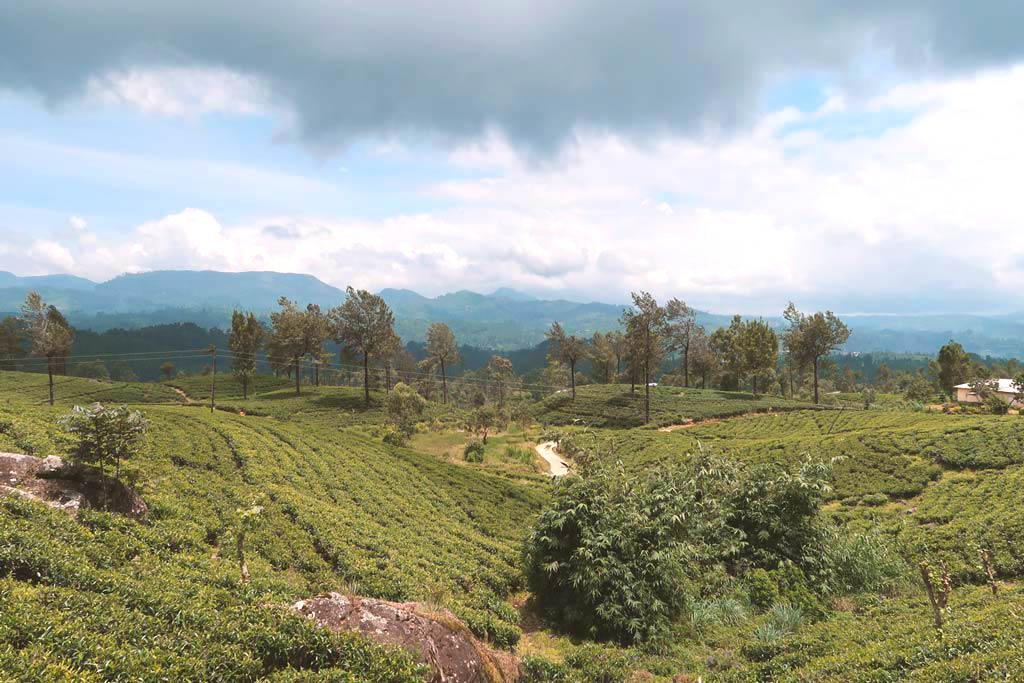 Teeplantagen aus dem Zug von Kandy nach Ella