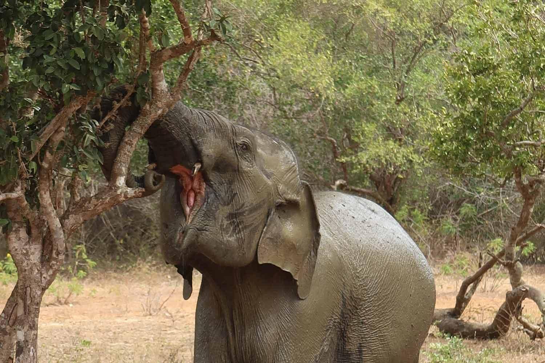 Elefant isst im Yala Nationalparl in Sri Lanka