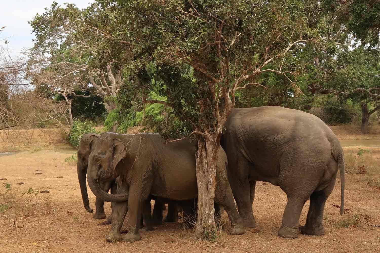 Elefanten Familie im Yala Nationalpark