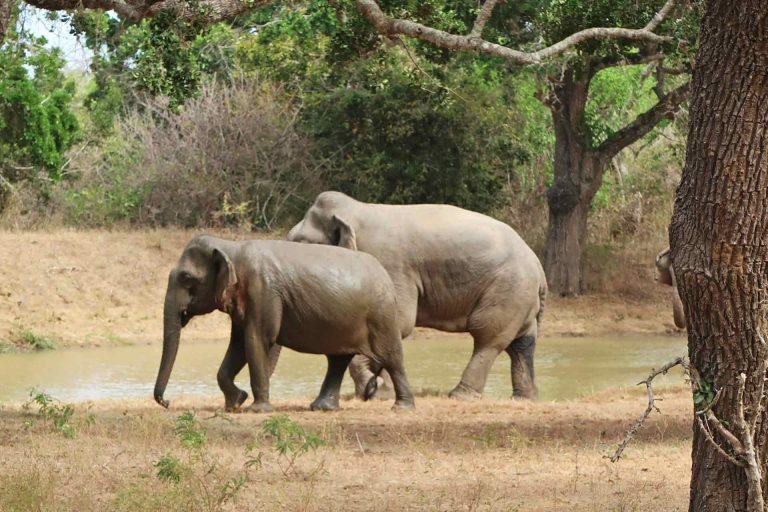 Elefanten im Yala Nationalpark