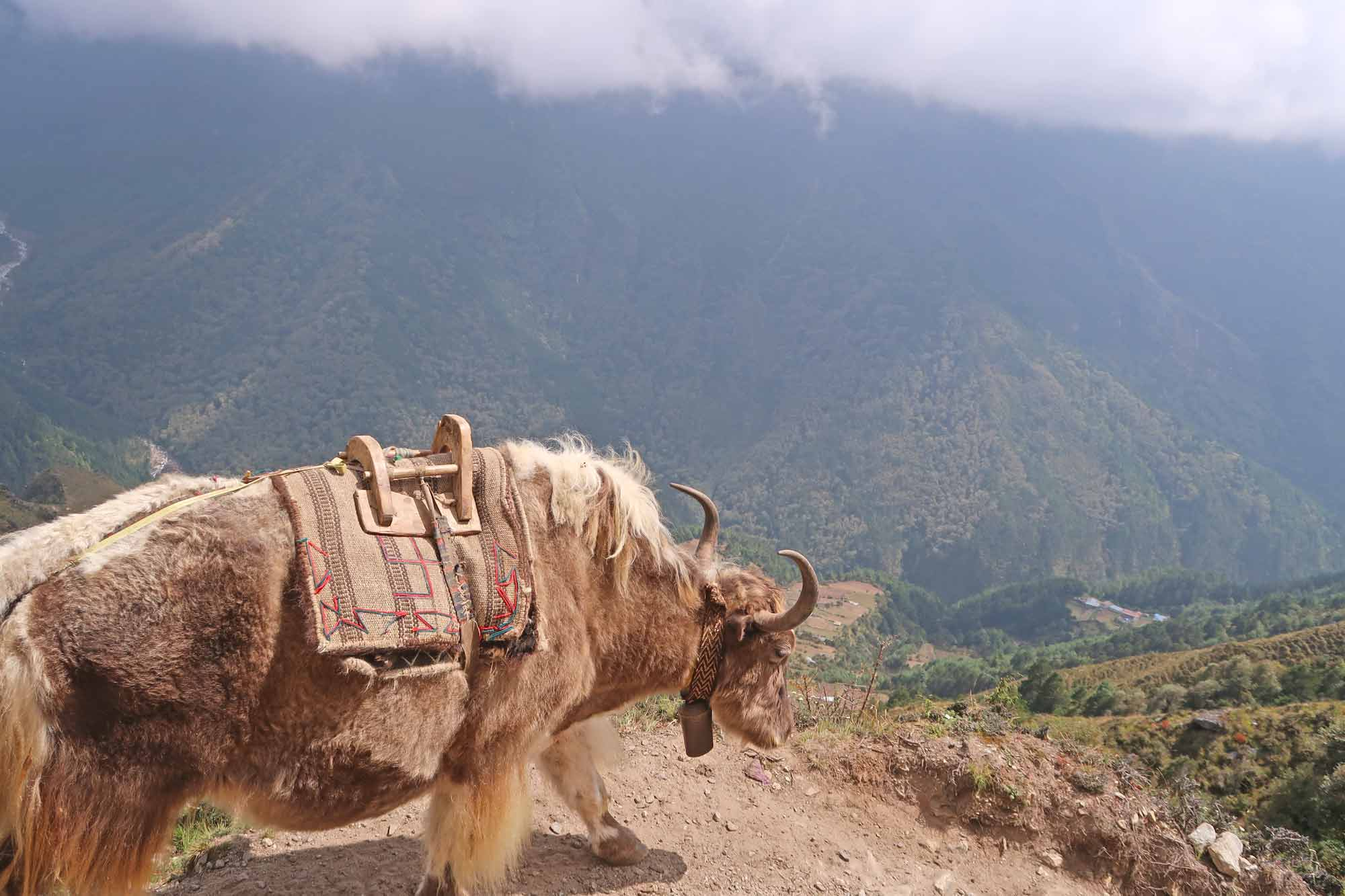 Yaks auf dem Everest Base Camp Trek - Likeontravel