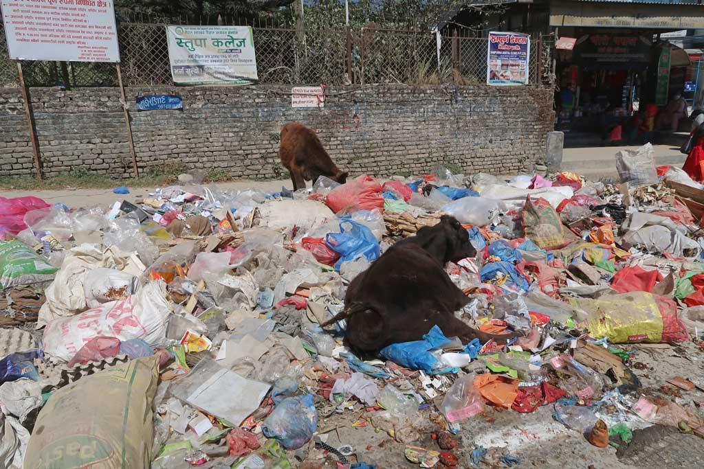 Kühe im Müll von Kathmandu
