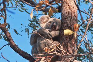 Ein schlafender Koala im Baum auf der Insel Magnetic Island an der Ostküste Australiens