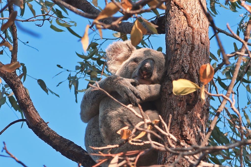 Ein freilebender Koalabär auf Magnetic Island an der australischen Ostküste
