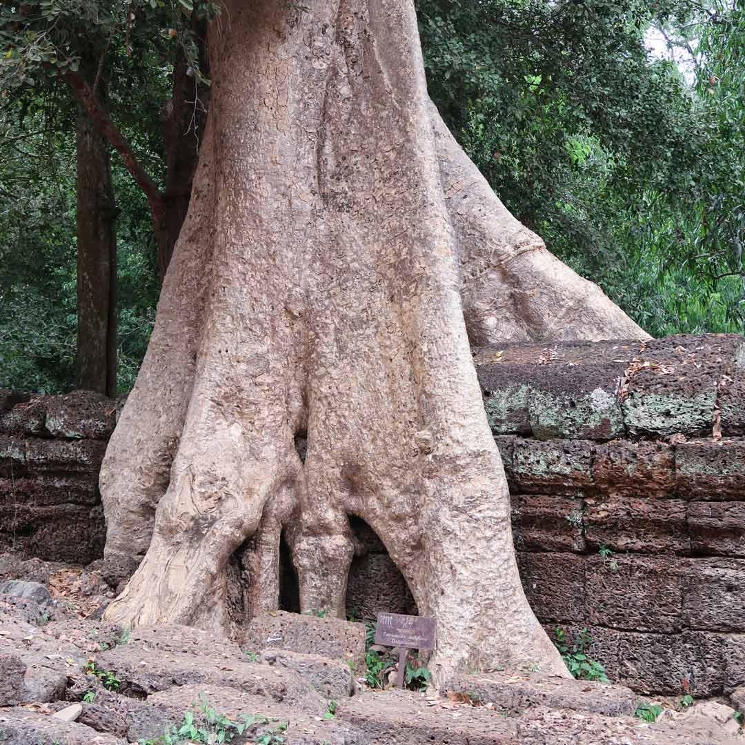 Der Tempel Ta Prohm mit genialer Vegetation