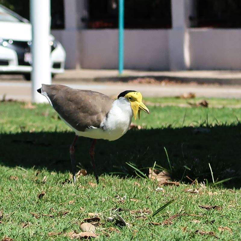 Vögel in Townsville
