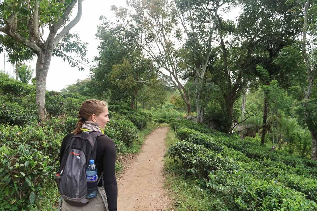 Teeplantagen am Ella Rock