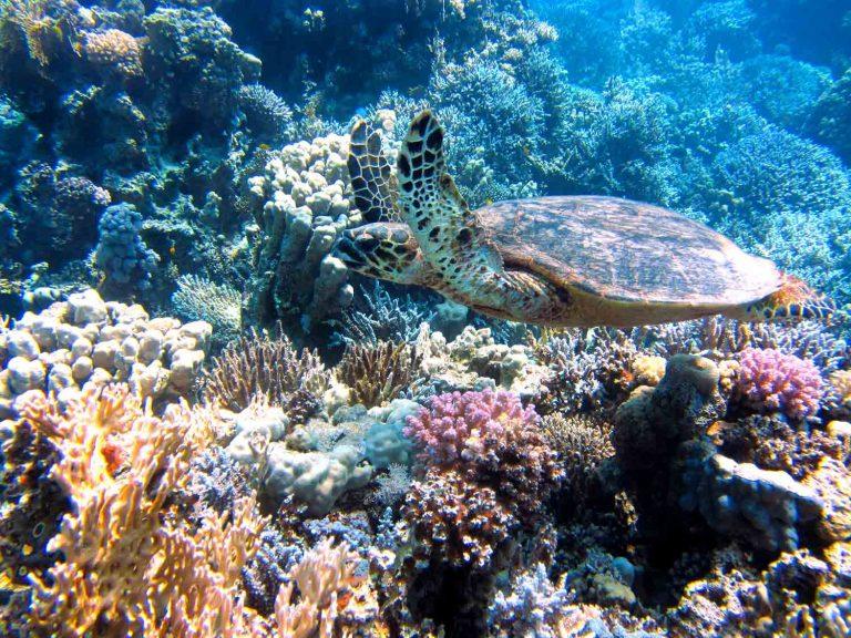 Eine Meeresschildkröte schwimmt durch einen bunten Korallengarten