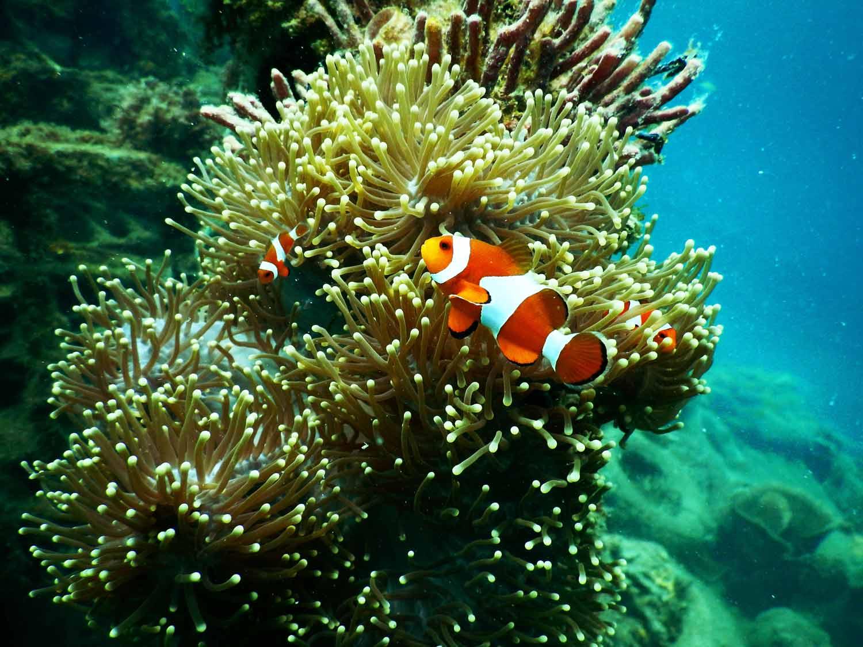 Mehrere Clownfische entdecken eine Anemone im Great Barrier Reef