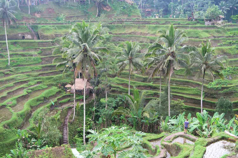 Tegallalang Reisterassen in Ubub auf Bali
