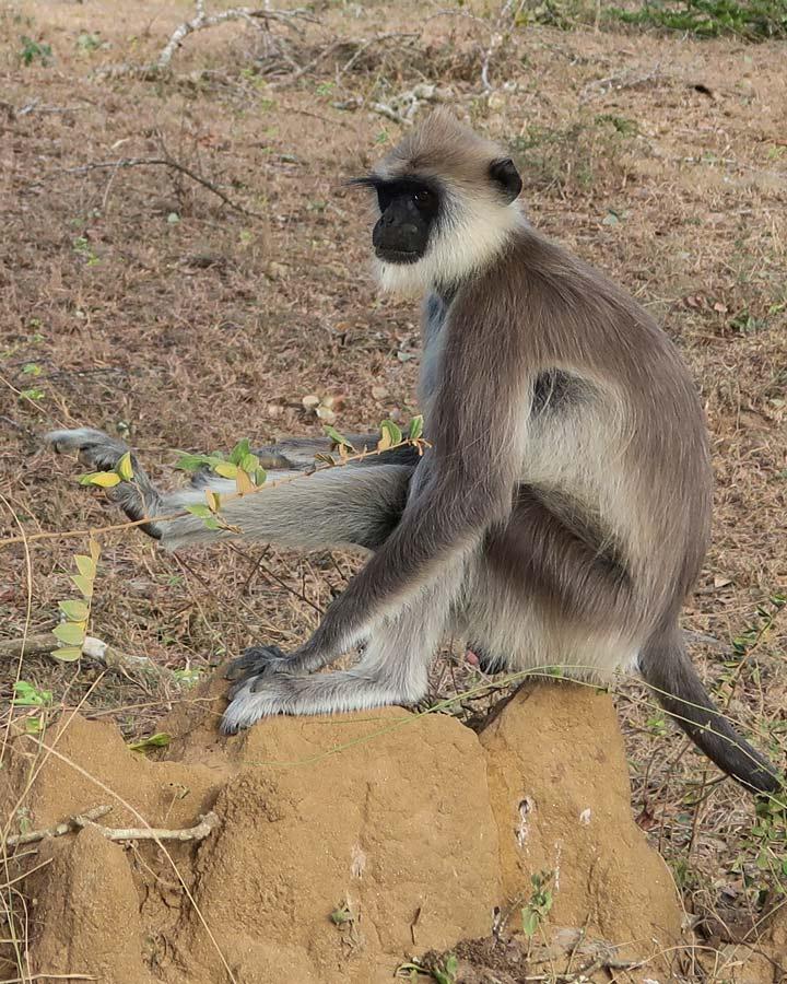 Affe in Sri Lanka
