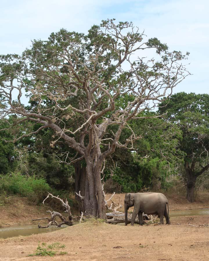 Yala Nationalpark Elefanten