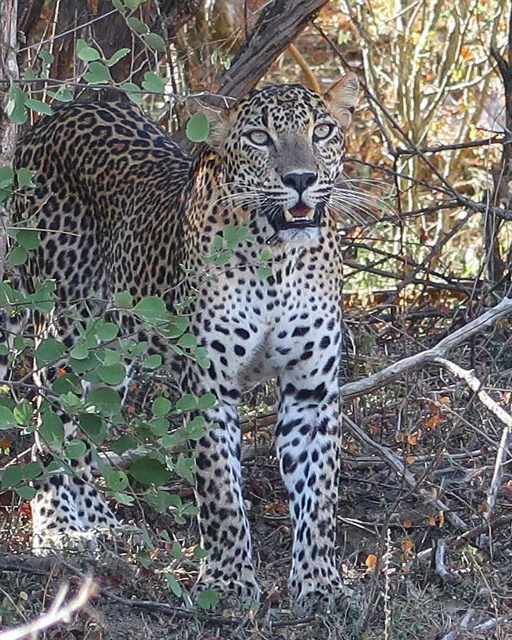 Leoparden Safari in Sri Lanka