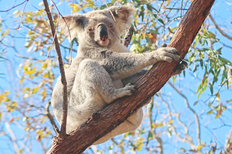 Frei lebender Koalabär auf Magnetic Island