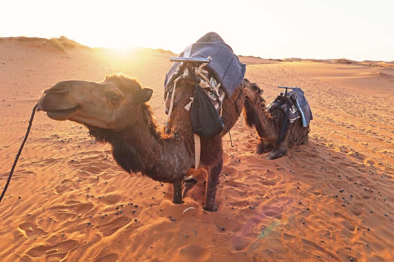 Kamele in der Sahara Wüste von Marokko - Erg Chebbi