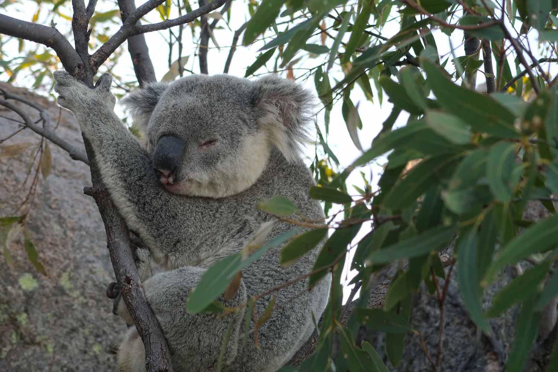 Freilebende Koalabären auf Magnetic Island