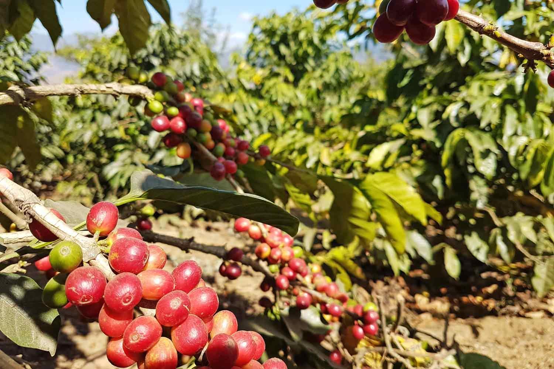 Antigua Kaffee Tour | Röste deinen guatemaltekischen Kaffee - Plantage