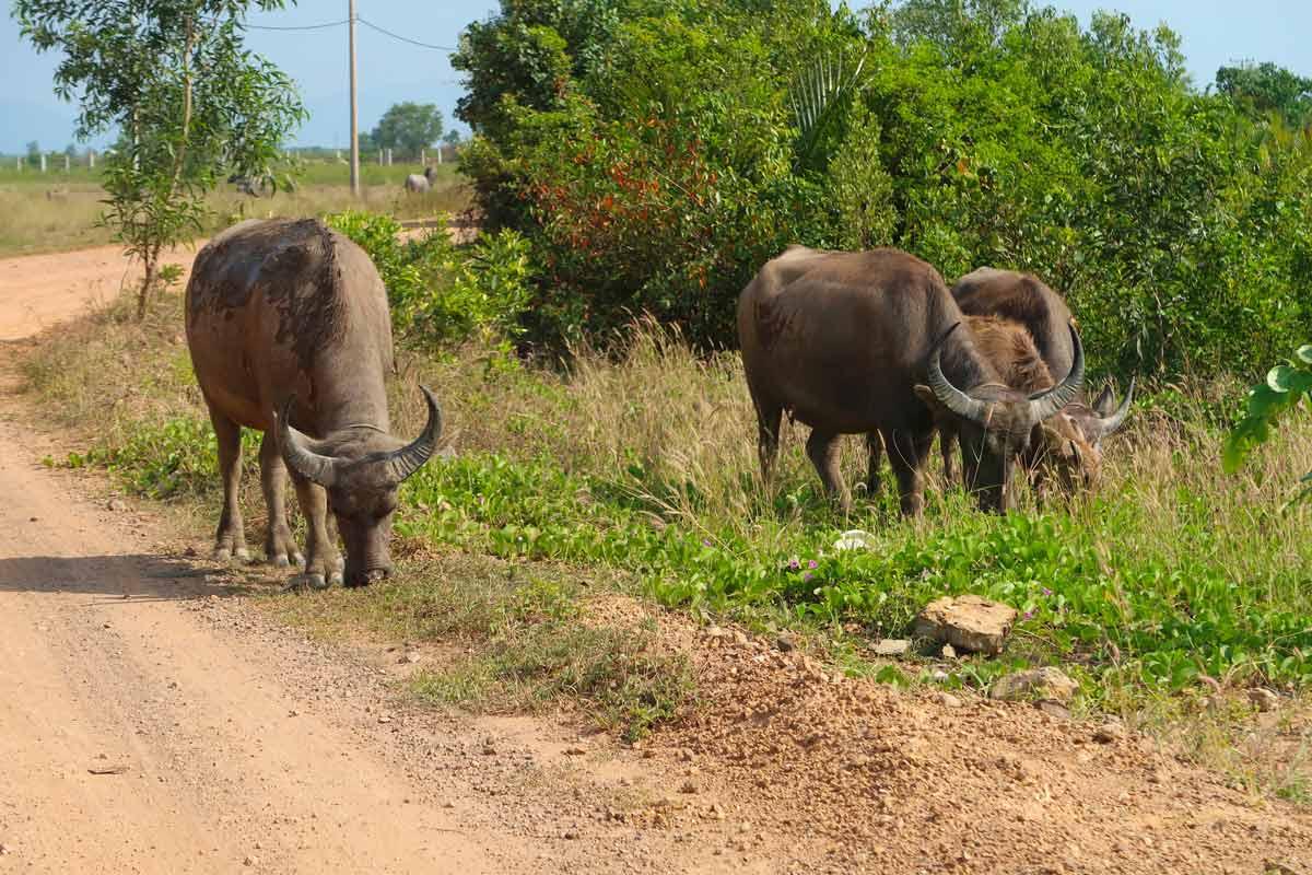 Kambodscha Rundreise - 11 Spots, die du nicht verpassen solltest! #kambodscha #rundreise #südostasien #wasserbüffel #tiereinkambodscha #natur
