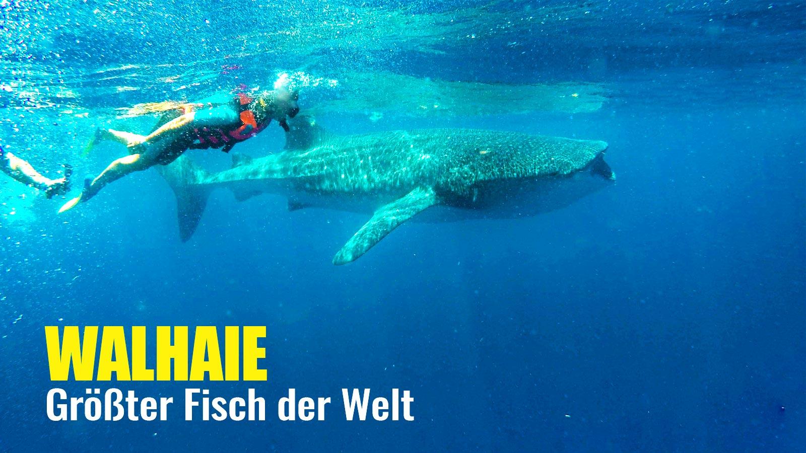 Youtube Thumbnail Walhaie