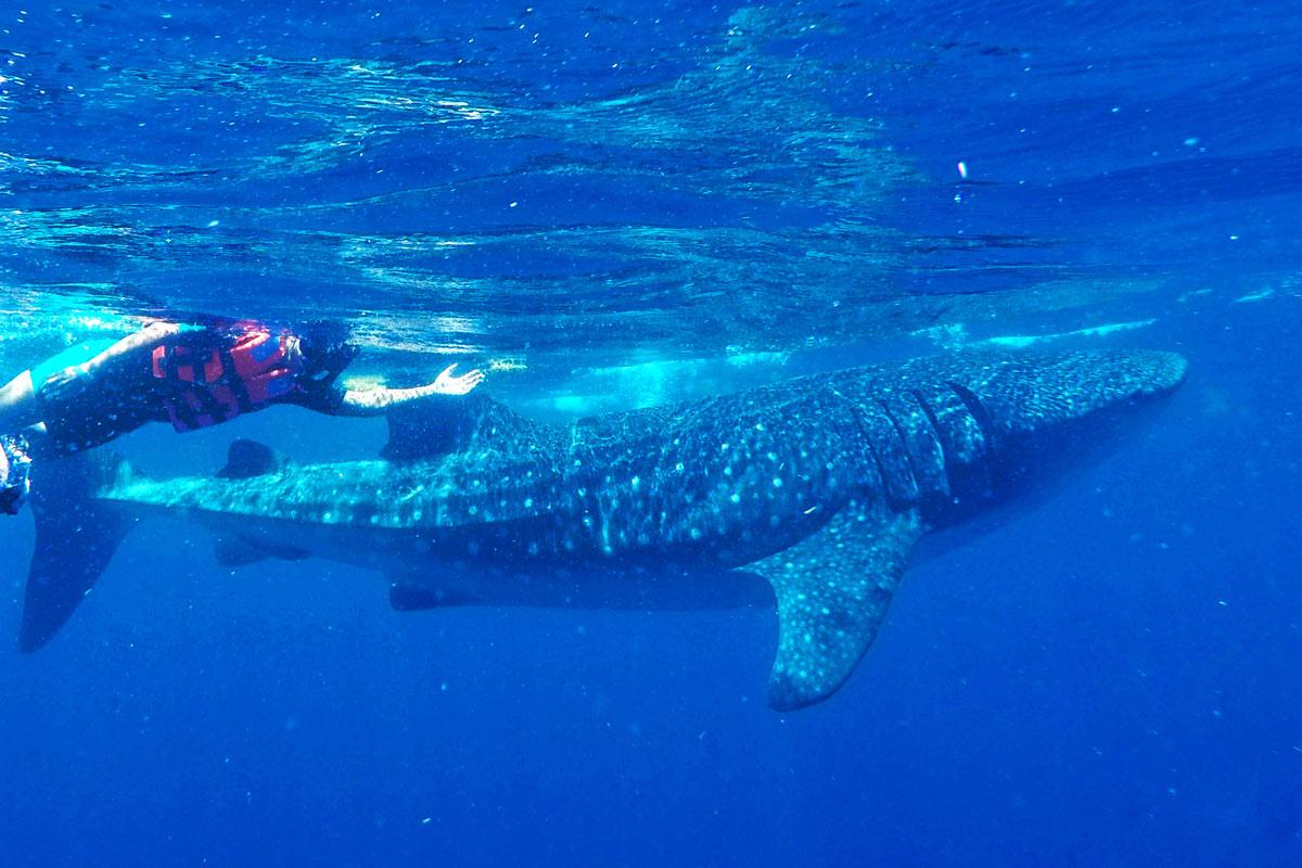 Schnorchler neben Walhai
