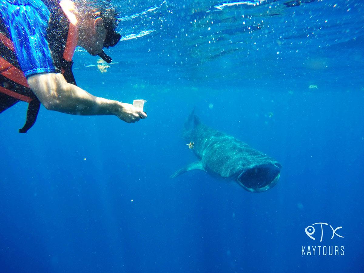 Walhai von vorne