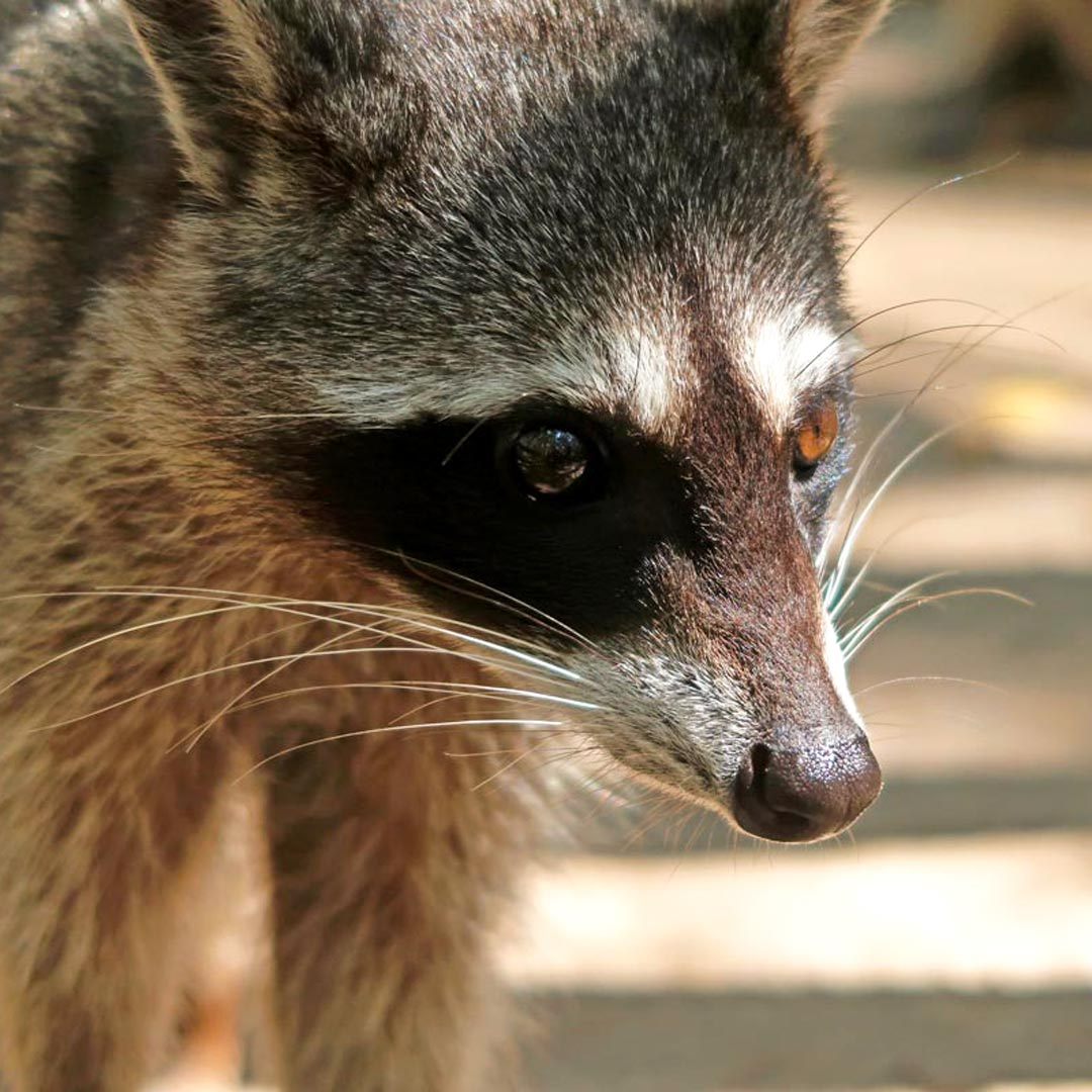 Im Ecological Reserve Corchito gibt es Waschbären in freier Wildbahn