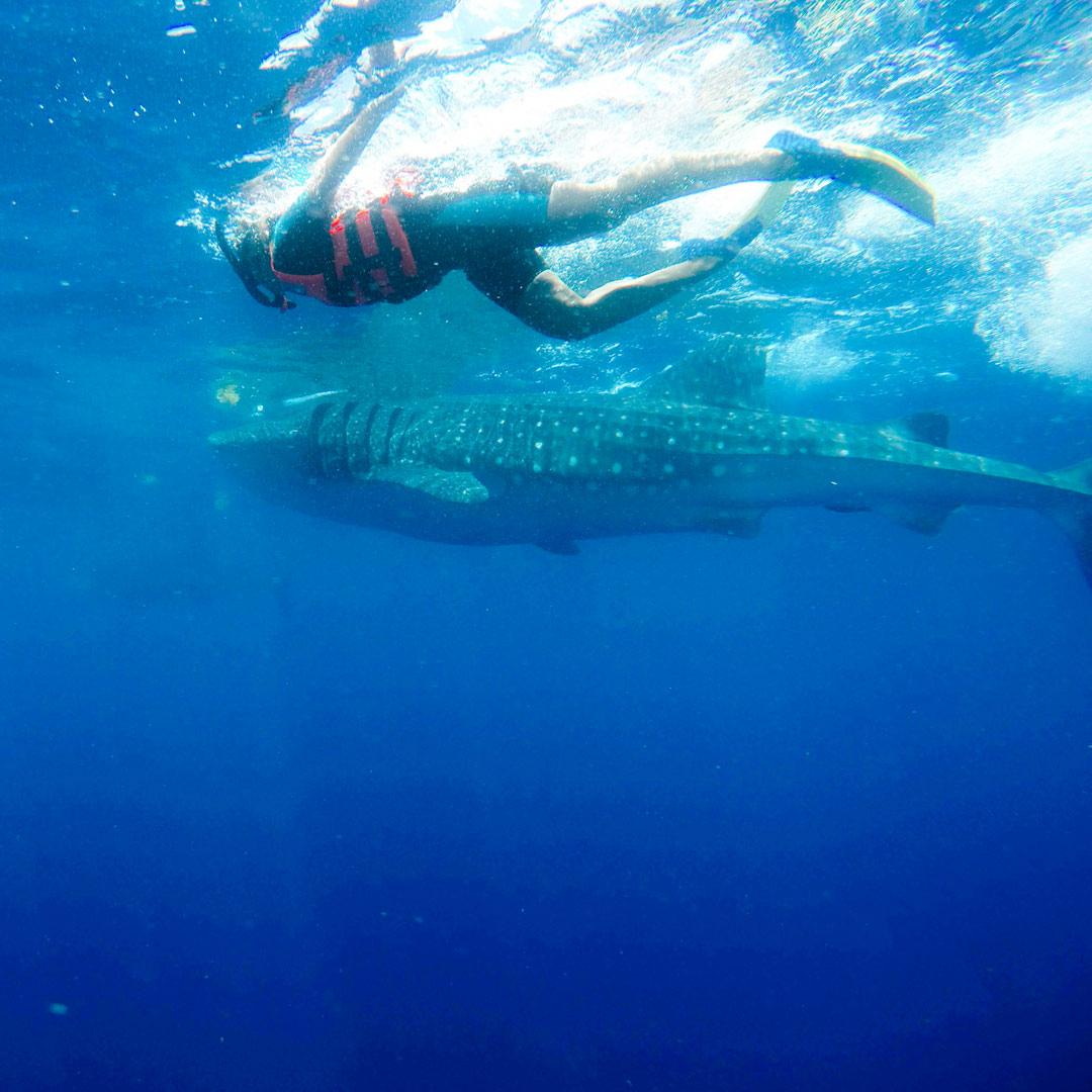 Walhai Schnorcheln in Mexiko
