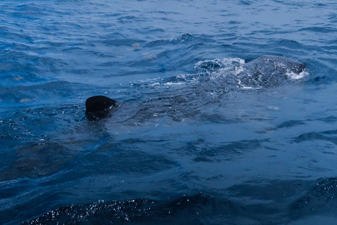 Walhaie bei Isla Mujeres