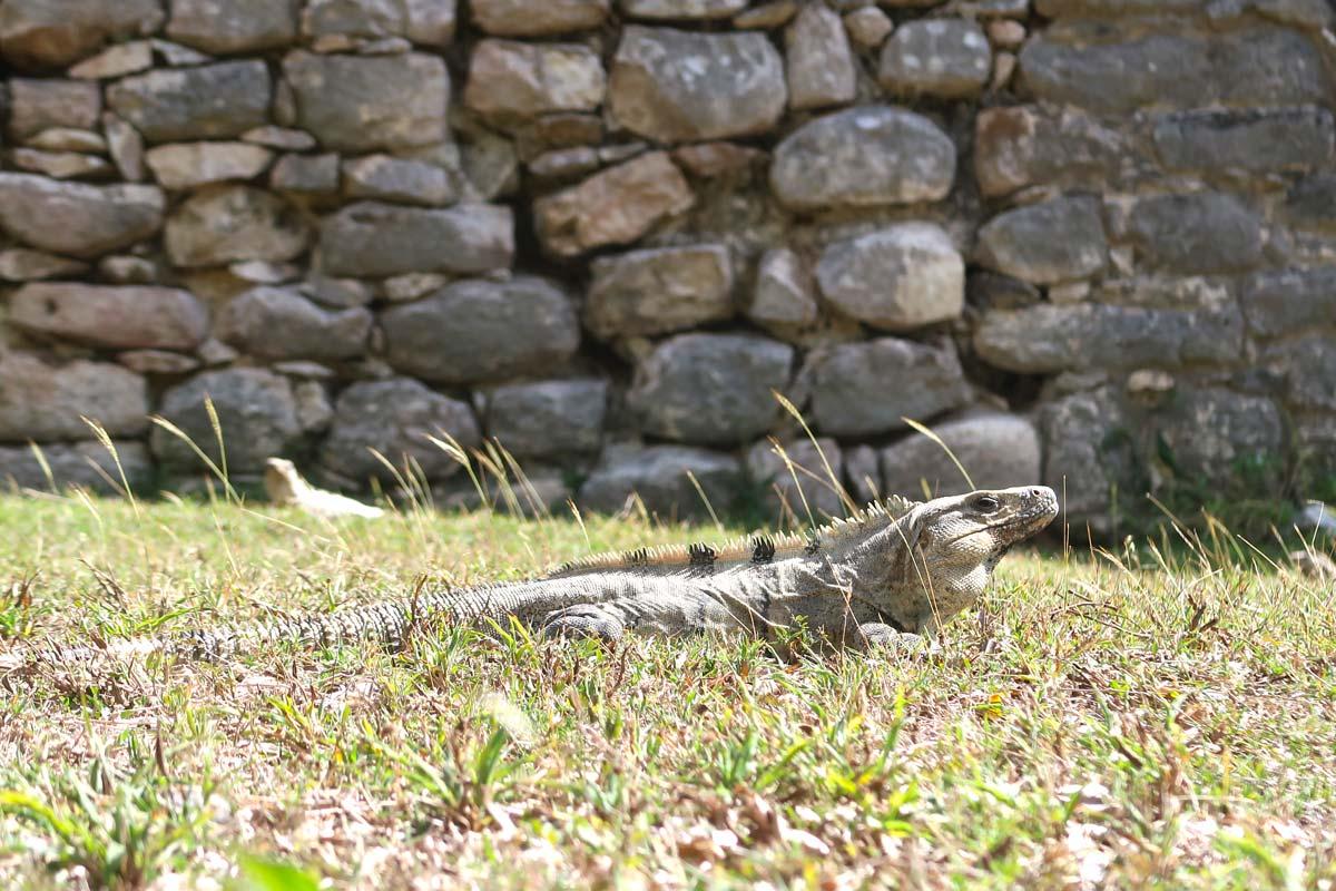 Iguanas in Chichén Itzá
