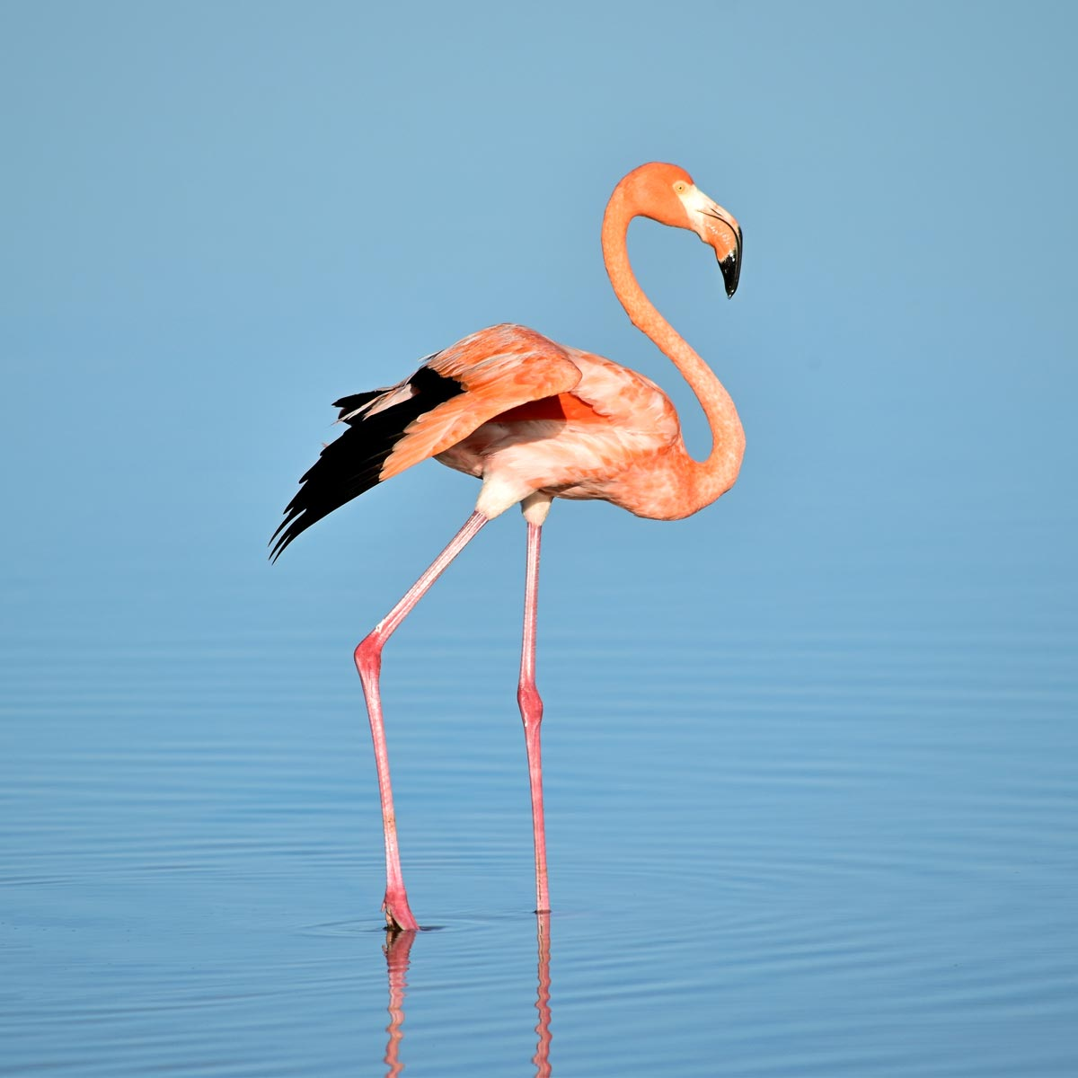 Celestún - Flamingos in freier Wildbahn