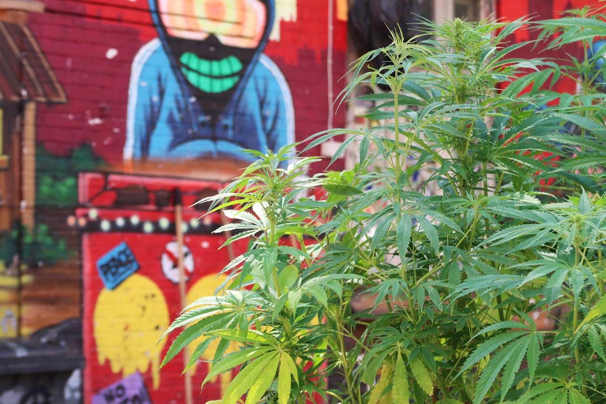 Cannabis Pflanze in Christiania