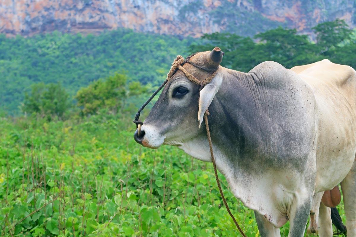 Ursprüngliche Landwirtschaft mit Rindvieh