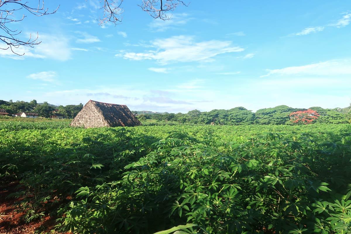 In Viñales gibt es Tabakplantagen soweit das Auge reicht